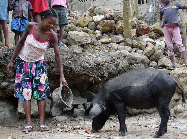 Préval ne partira pas le 7 février mais en mai 2011 - Page 2 Creole-pig